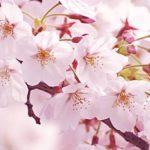 もうすぐ、桜の季節がやってくる♪